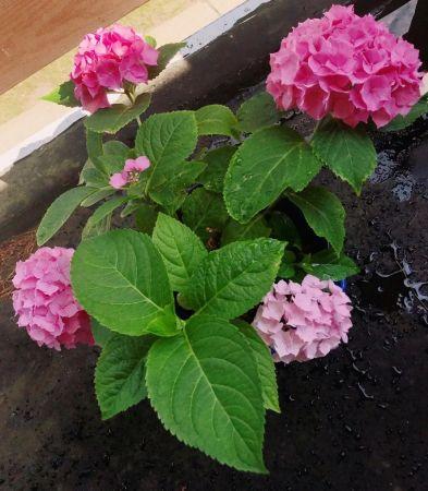 小雨养的绣球花。(受访者供图)