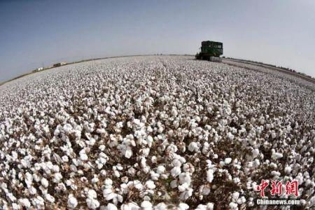 新疆是中国棉花主产区。确·胡热 摄